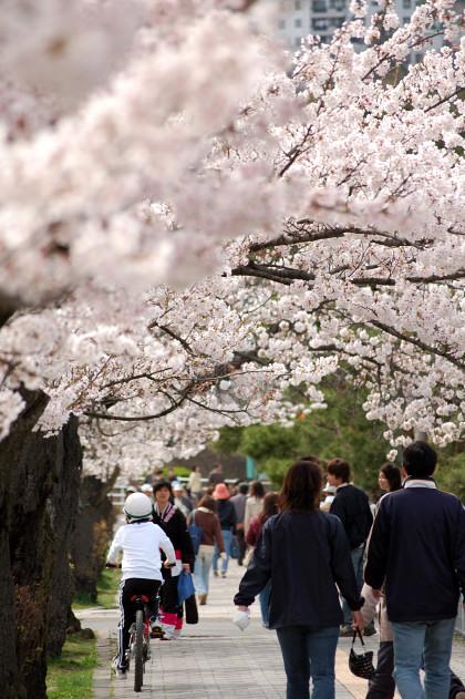 #004 桜道