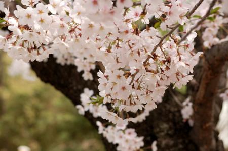#004 桜木