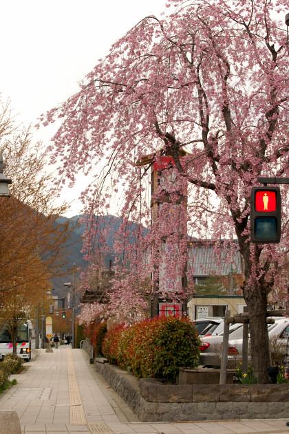 #002 枝垂れ桜 [D50]