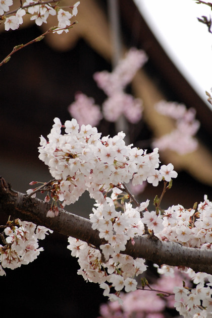 #005 善光寺と桜