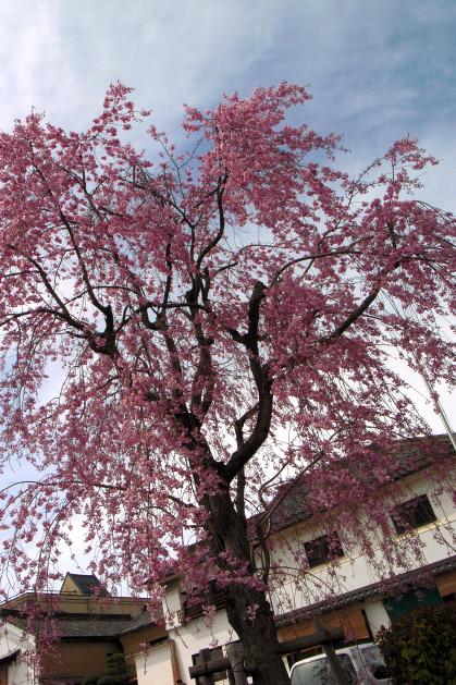 #001 枝垂れ桜 [GRD]