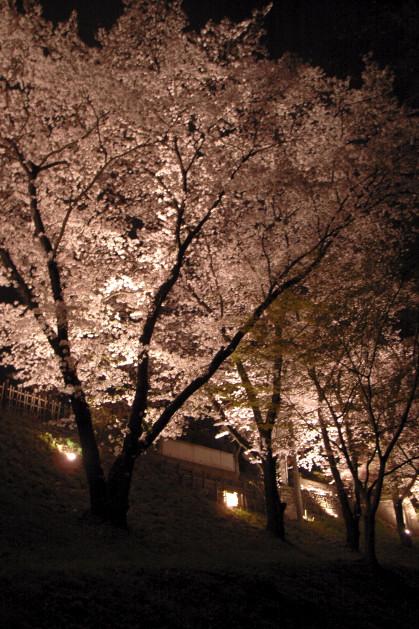 #005 お堀から覗く桜