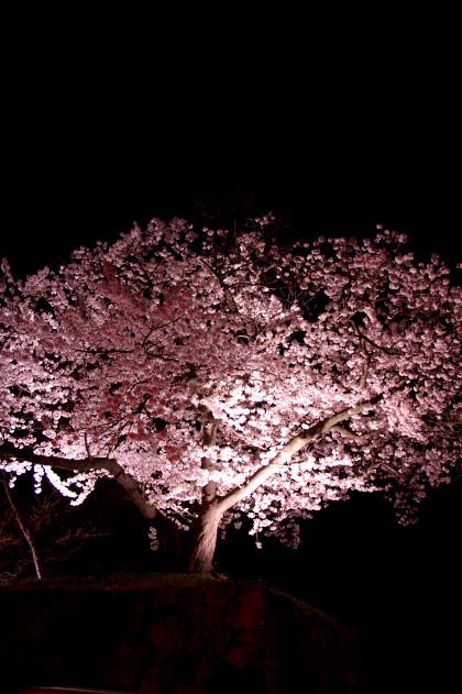 #002 一本桜