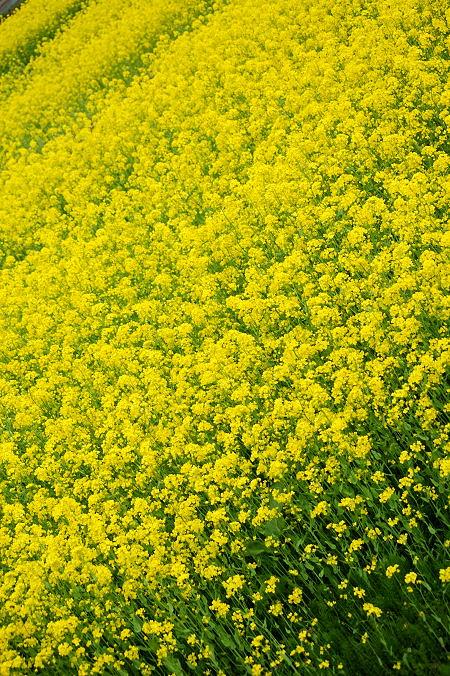 #006 黄色い絨毯