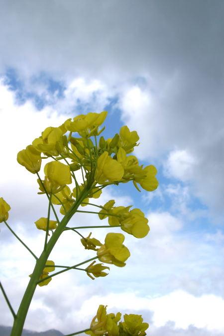 #004 菜の花