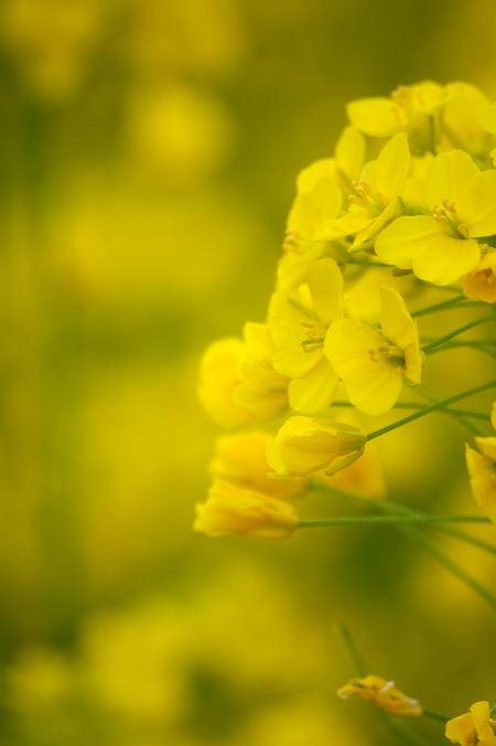 #003 なんの花?菜の花