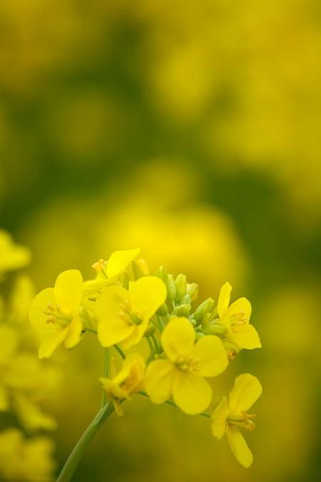 #004 なんの花?菜の花