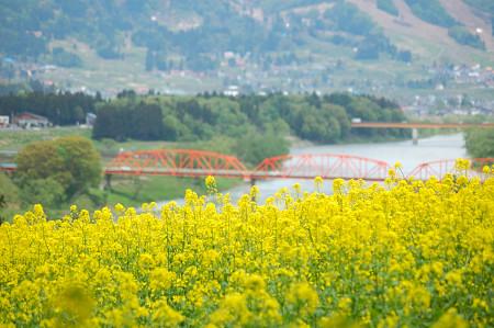 #005 橋と菜の花