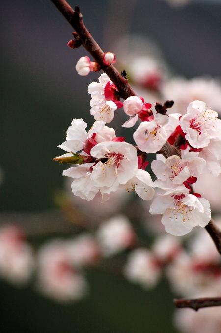 #005 あんずの花