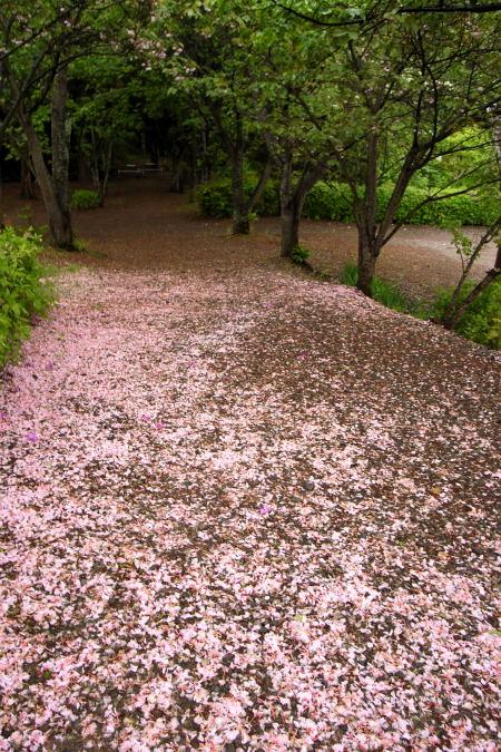#002 桜の絨毯