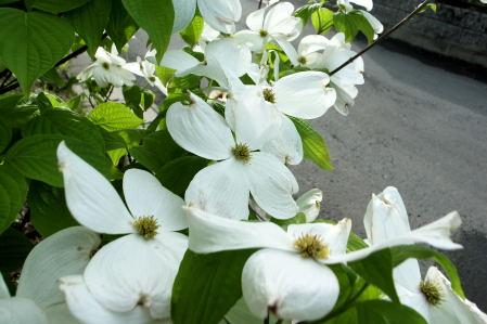 #004 白い花