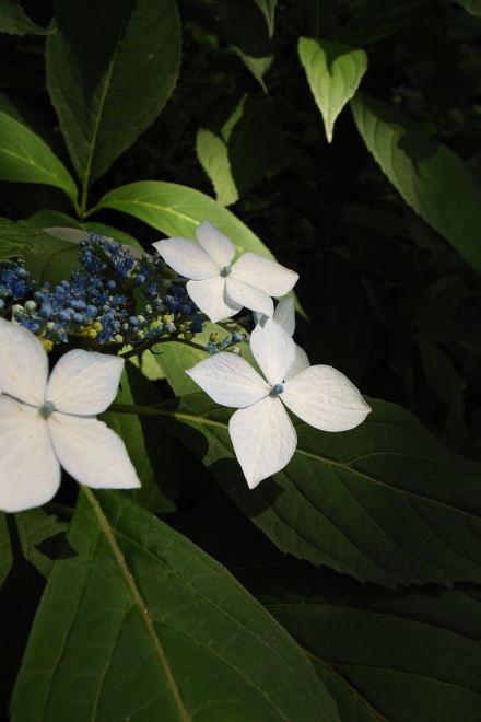 #003 紫陽花