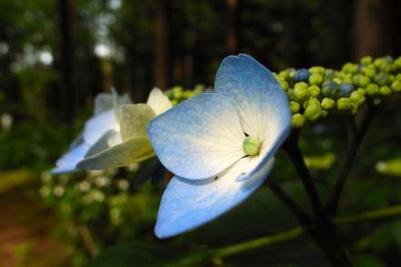 #006 紫陽花