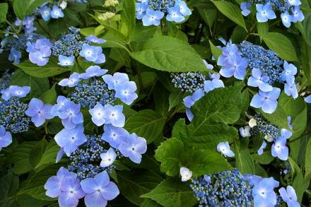 #001 青い紫陽花