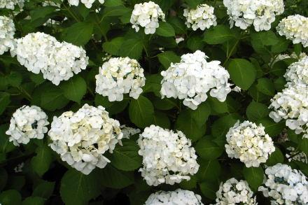 #002 白い紫陽花