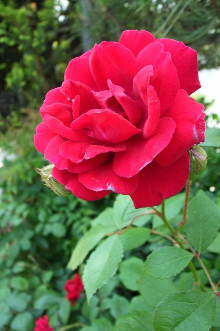 #001 赤い薔薇
