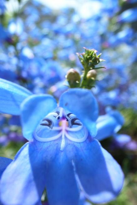 #003 青い花