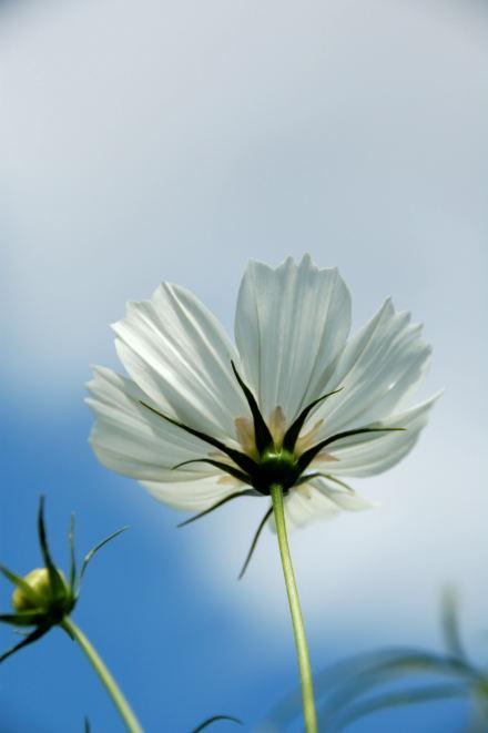 #003 White Cosmos