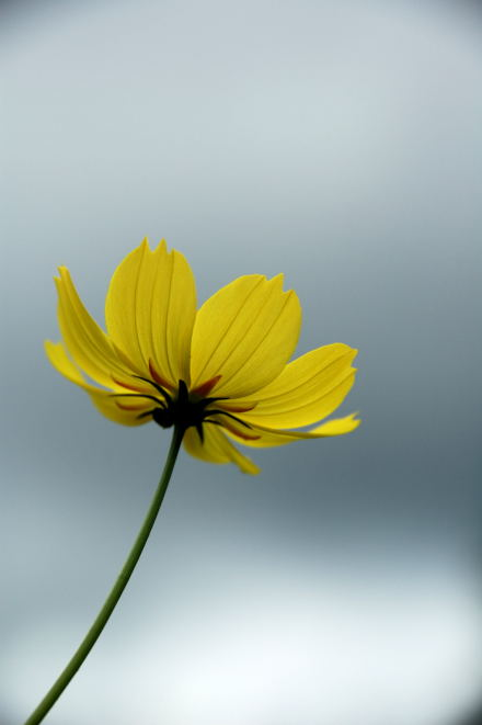 #001 Yellow Cosmos