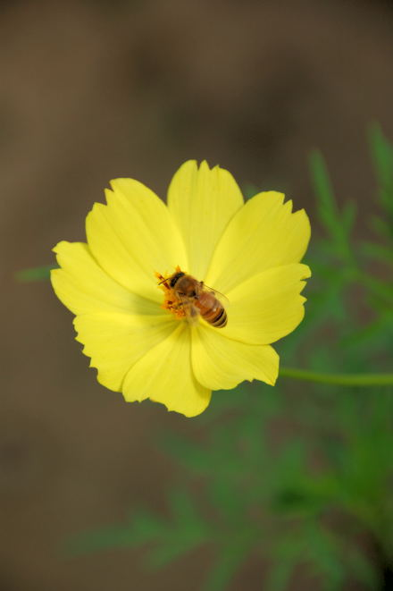 #002 Yellow Cosmos