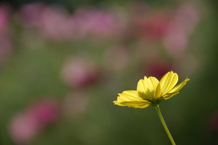 #003 Yellow Cosmos