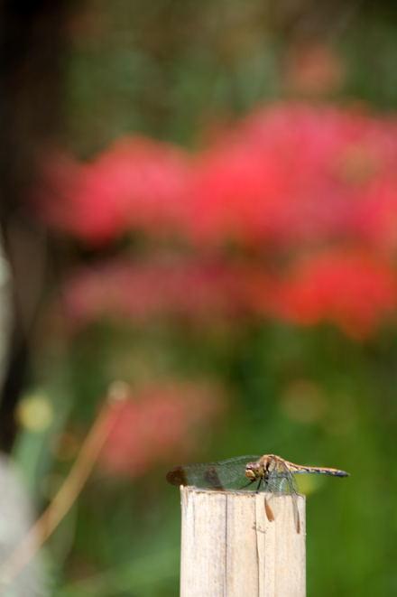 #001 赤と蜻蛉