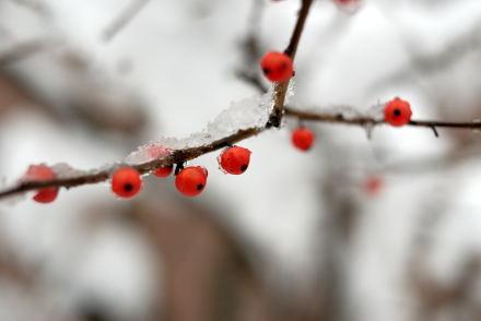 #005 小さな赤い実
