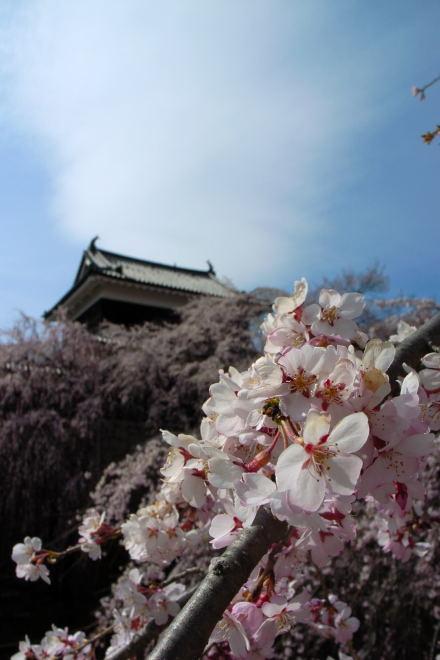 #002 上田城と桜
