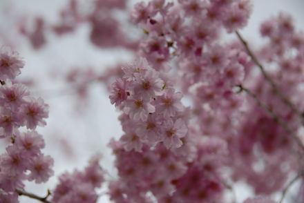 #005 桜