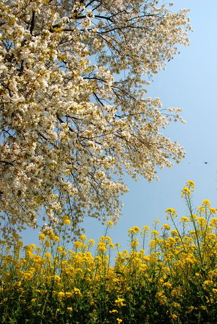 #003 桜と菜の花と