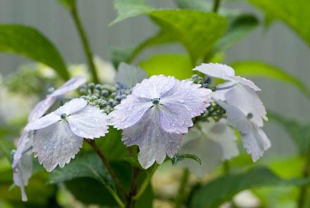 #004 紫陽花