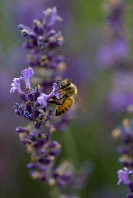 #001 ミツバチ