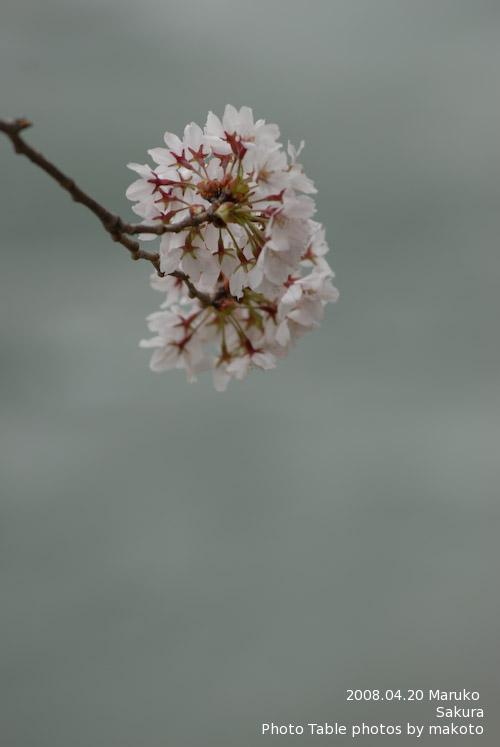 #004 桜