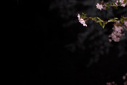 #001 夜桜