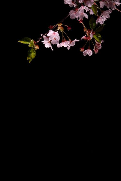 #002 夜桜