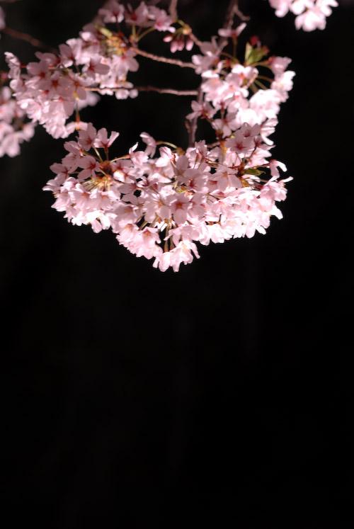 #003 夜桜