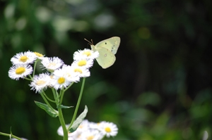 白い花とモンシロ蝶 ブログ
