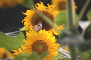 向日葵と空と蝶 ブログ