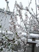 雪のサクランボ
