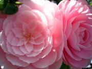 春の花・比較