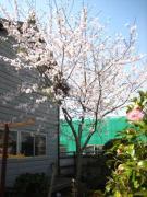 12年目の桜