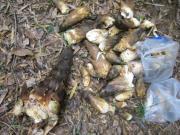 収穫した筍