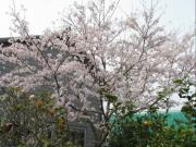 2008家の桜1