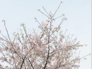 2008家の桜2