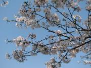 2008午後の桜1