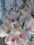 2008午後の桜2