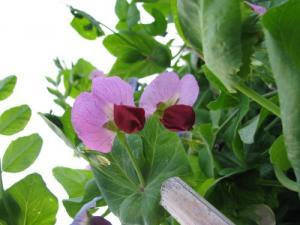 エンドウ豆(赤花)