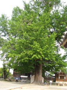 大銀杏樹齢800年だとか