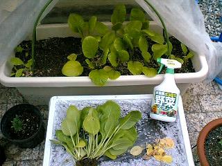 小松菜今日の収穫