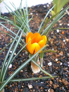 黄色クロッカス咲いた